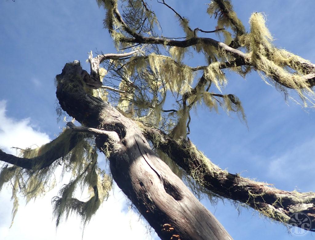 """Tamarins et lichens dits """"Barbes de Jupiter"""""""