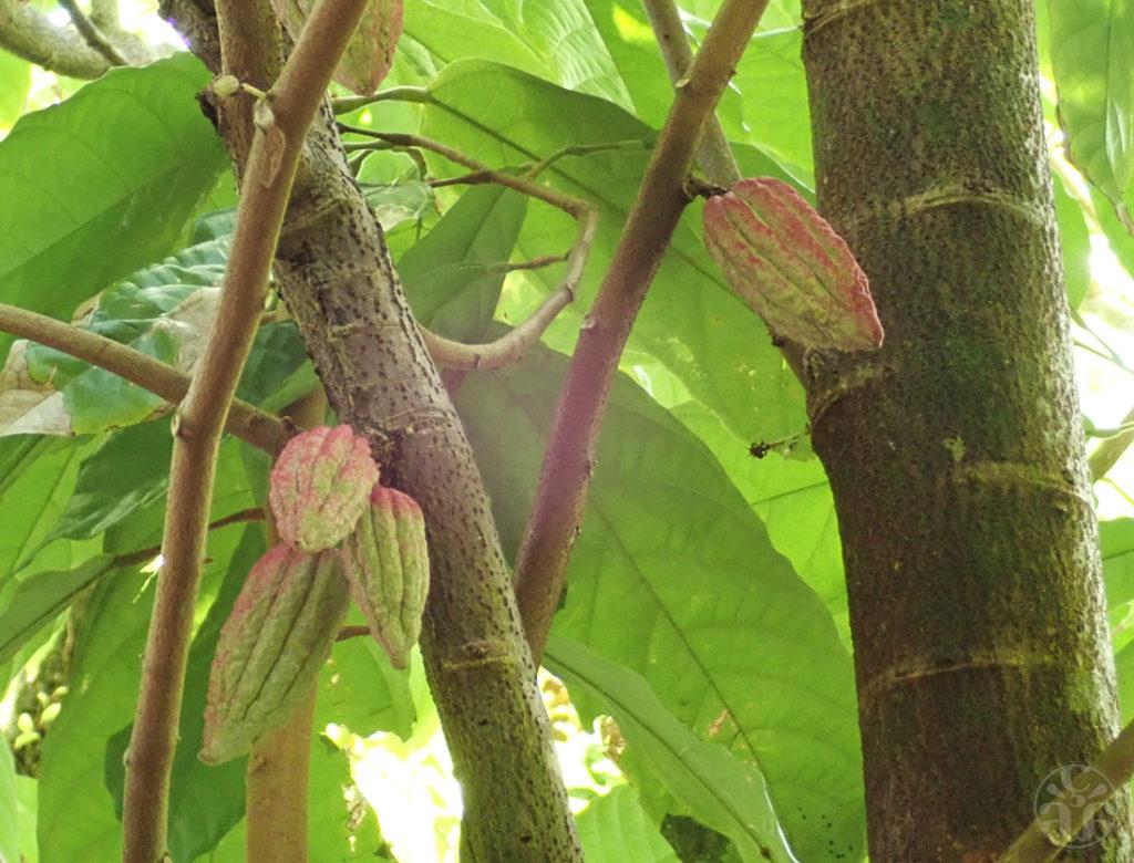 Fèves de cacaoyer