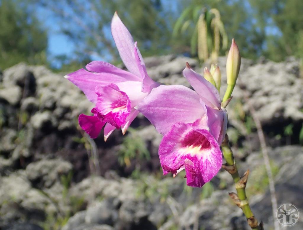 Orchidée bambou ou arundina graminifolia.