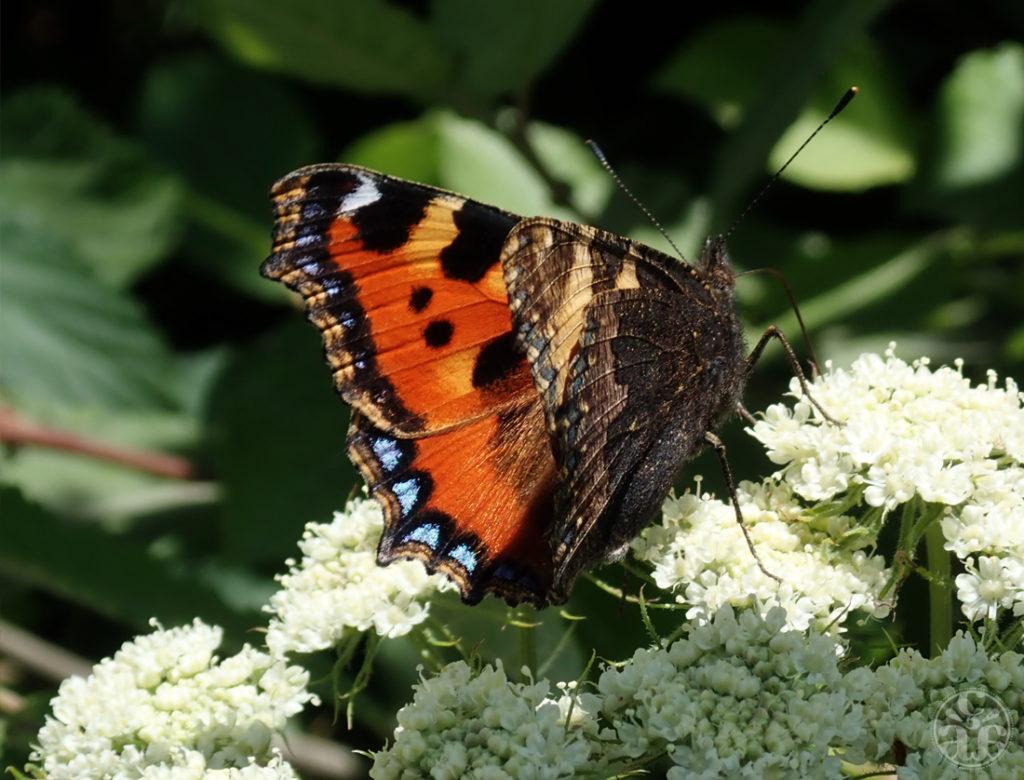 Rencontre avec un papillon sur un fenouil des Alpes