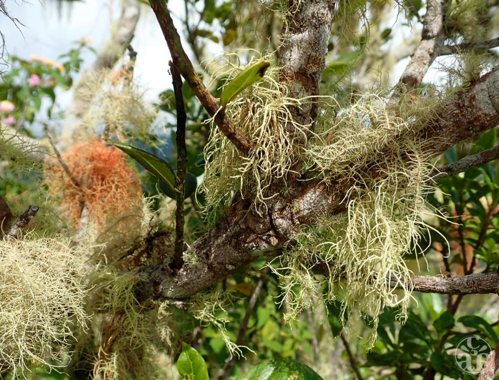"Lichens dits ""Barbes de Jupiter"""