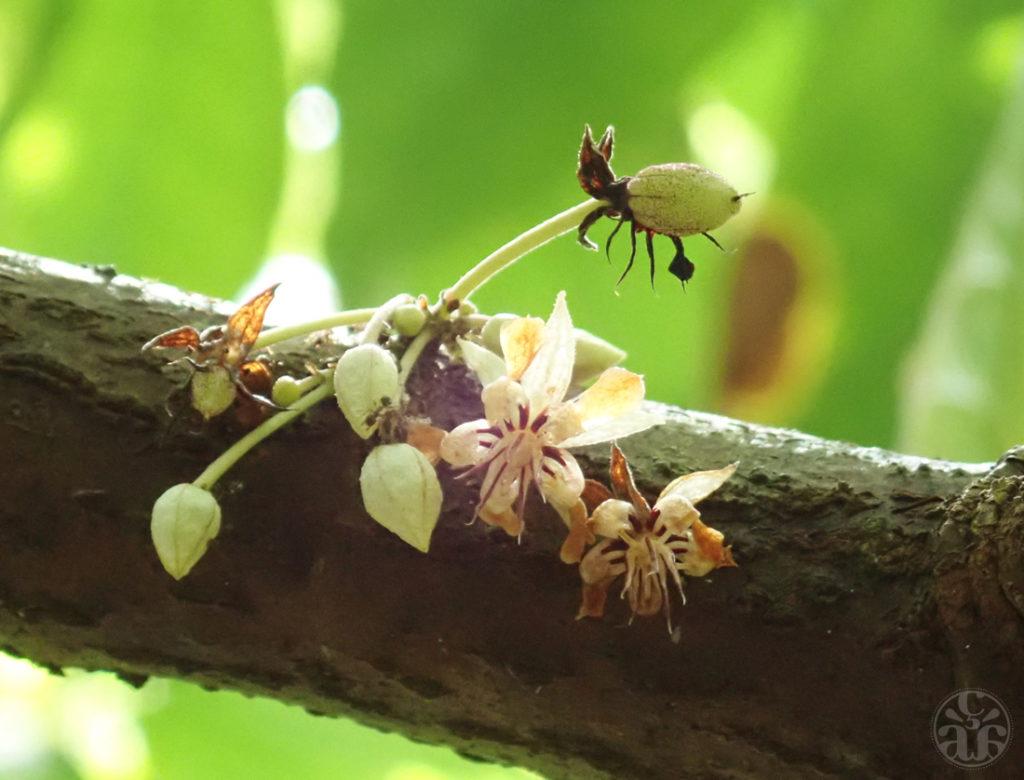 Fleurs de cacaoyer et de petites fèves en formation