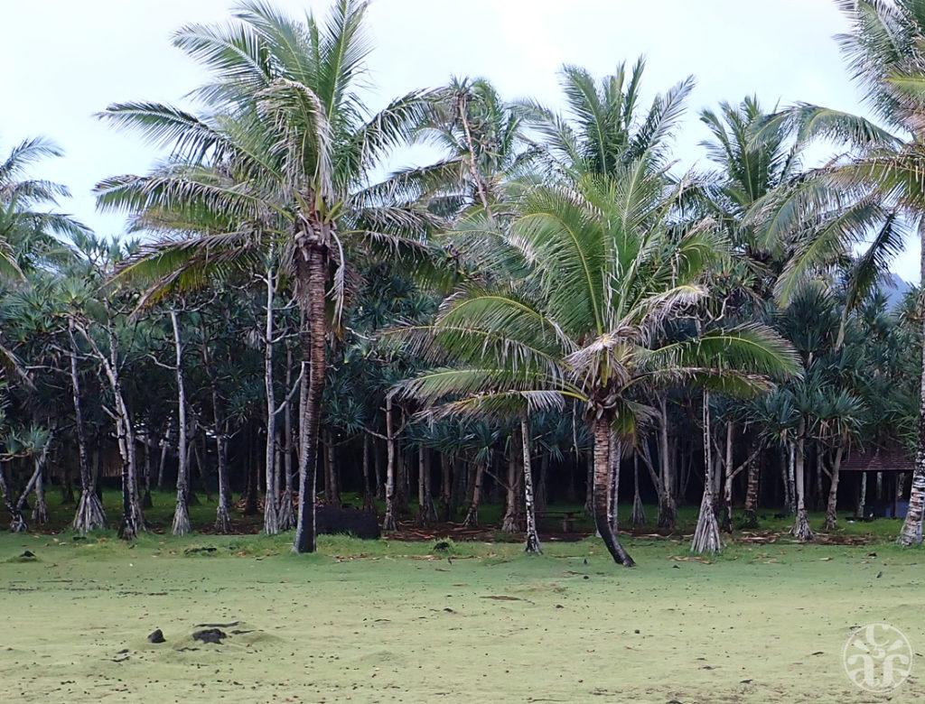 Herbe pique-fesse, palmiers et vacoas