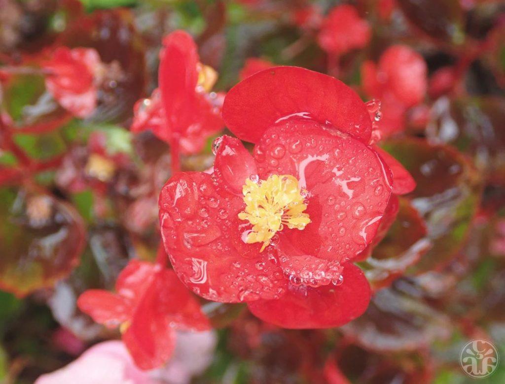 Fleur rouge après une nuit pluvieuse