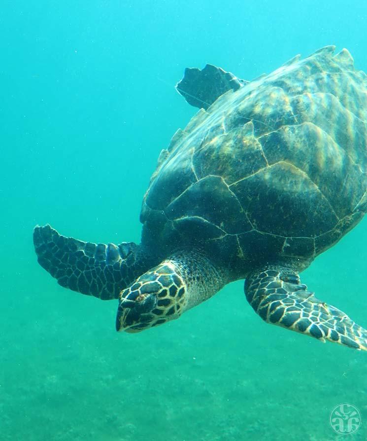 Une tortue imbriquée, dans son bassin