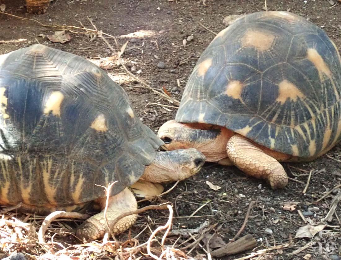 Astrochelys radiata ou tortues étoilées