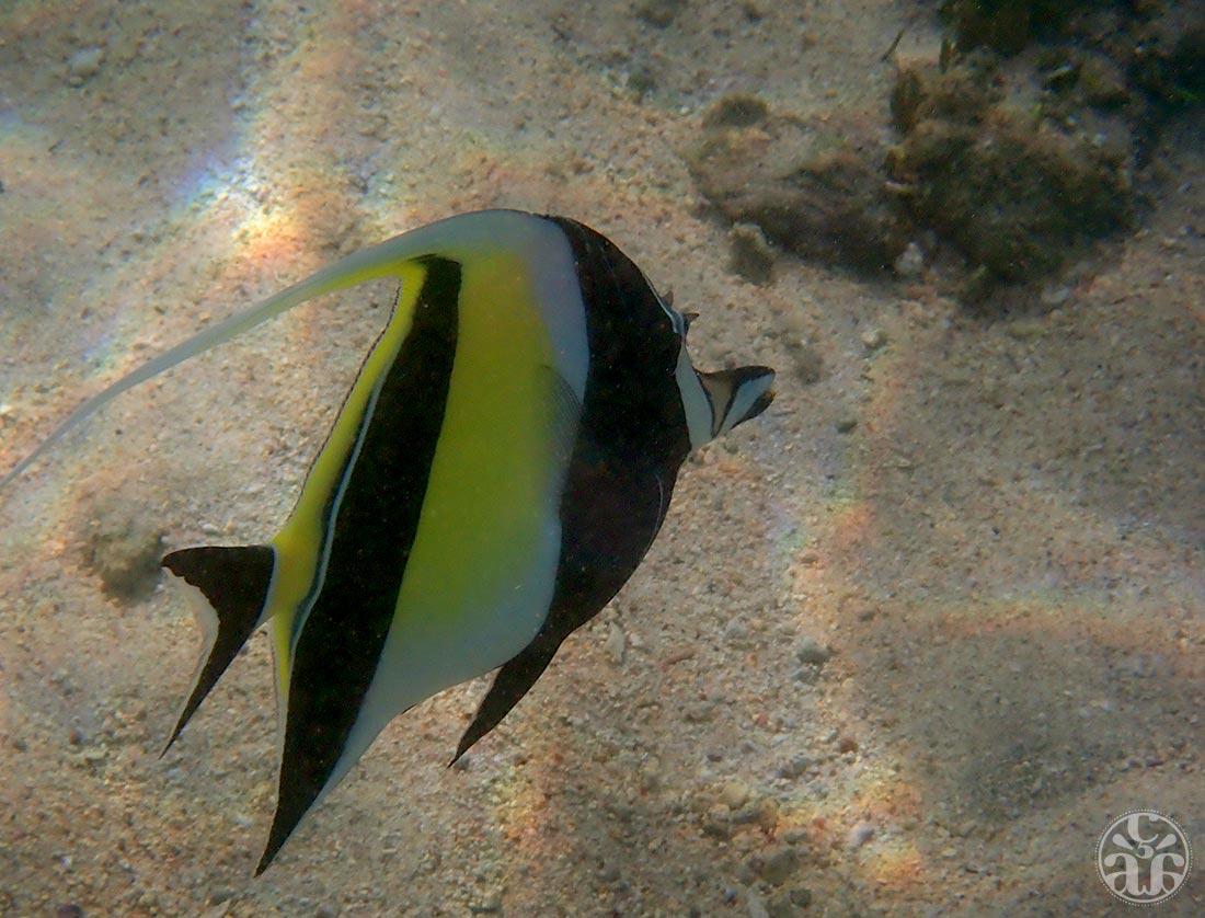 Un poisson cocher